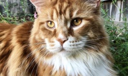 faites-la-rencontre-du-maine-coon-devenu-le-plus-grand-chat-du-monde