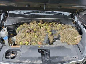 etats-unis-leur-voiture-sentait-le-brule-a-cause-des-ecureuils-qui-cachaient-leurs-provisions-sous-le-capot