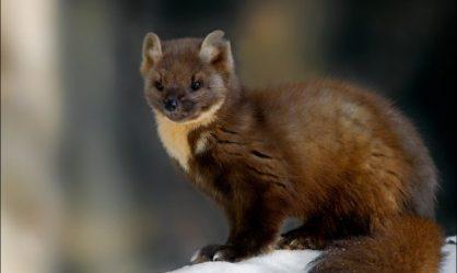 La zibeline cet animal très mignon mais en voie d'extinction !