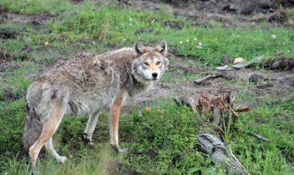 Elle emmène un coyote chez le vétérinaire en pensant que c'est un chien