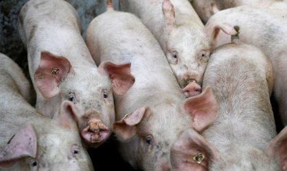 Urgent : un virus de grippe porcine a été découvert comme propice à une prochaine pandémie
